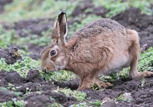 10-hare