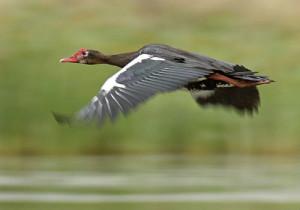 4-goose