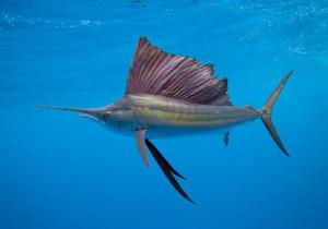 5-sail-fish