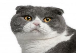 10-scotish-fold-cat