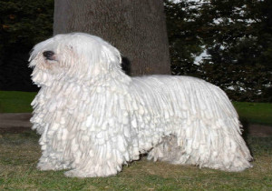 4-white-komondor