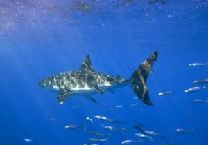 4-Sharks