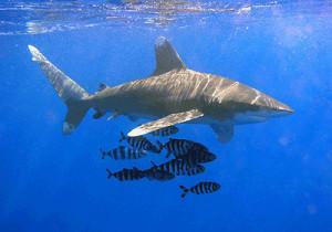 6-Sharks