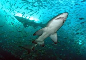 7-Sharks