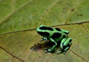 9-dart-frog