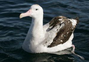 1-Wandering Albatross