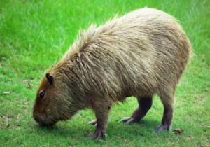 2-Capybara