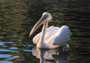 2-Great White Pelican