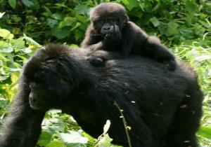 4-gorilla