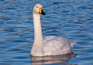 5-Whooper Swan