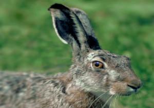 7-hare