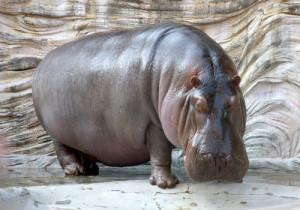 9-Hippopotamus