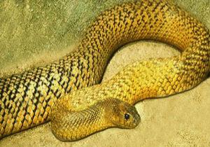 1-Fierce Snake or Inland Taipan