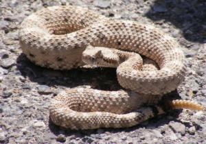 10-Rattlesnake