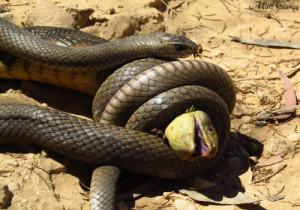2-Eastern Brown Snake