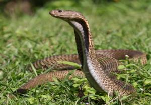 7-Philippine Cobra