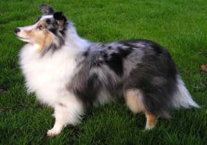 5-Shetland Sheepdog