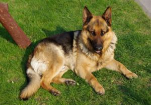 8-German Shepherd