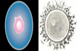 ovum-vs-egg